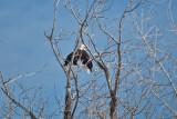 3273 Bald Eagles.jpg
