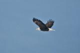 3277 Bald Eagles.jpg