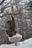 3287 Turkeys.jpg