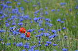 Cornflowers with a touch of poppy