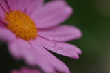 Raindrops on a daisy
