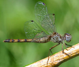 Blue Faced Meadowhawk