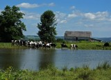 Cows Wading