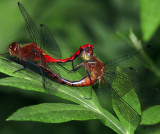Janes Meadowhawk's Mating