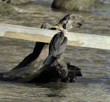 Double-creasted Cormorant (Drying off)