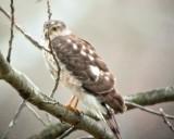 DigiScoping Hawks (subGallery)