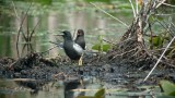 Pair of Black Terns