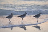 Shorebirds at Sunset on  Anna Maria Island