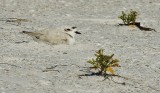 Snowy Plover sitting on her egg(s)