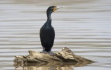 Double-crested Comorant