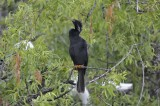 Anhinga Perched just above Nest