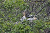 Immature Anhingas on their Nest
