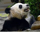 Er  Shun  ( Female  Giant  Panda )