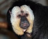 White-faced  Saki Monkey