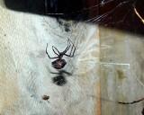 Black  Widow     P2094662.jpg