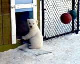 Baby  Polar  Bear ( Three months old )