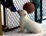 Baby Boy  Polar  Bear ( Three months old )
