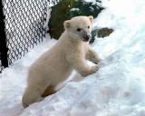Three Months Old  Polar  Bear  Cub