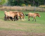 PA107829.jpg       Mongolian  Wild  Hose.