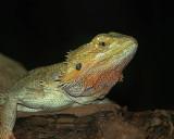 Centrral  Bearded  Dragon