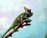 Miller's  Chameleon