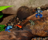4  Poison Dart Frogs