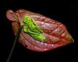Leaf  Frogs
