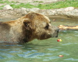 Apples  for  Grizzly  Bear