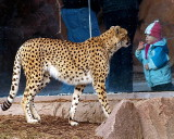 Little  Boy  and  the  Cheetah