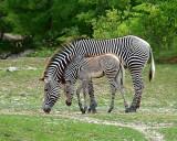 Toronto Zoo's new baby zebra