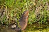 A beaver has a bite