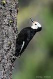 White - headed Woodpecker ~  Female