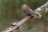 Golden-crown Sparrow