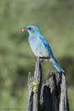 Mountain Bluebird male with a tick