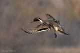 Male Northren Pintail Duck in flight