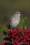 Northren Mocking bird in a Toyon bush