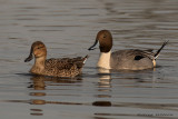Northren Pintail Female and Male