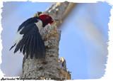 20130504-1 307 Red-headed Woodpecker.jpg