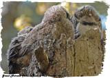 20130507 494 SERIES -  Great Horned Owls.jpg