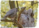 20130507 258 SERIES -  Great Horned Owls.jpg