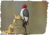 20130504-1 186 Red-headed Woodpecker.jpg