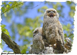 20130507 763 Great Horned Owls.jpg