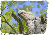 20130507 724 SERIES - Great Horned Owls.jpg