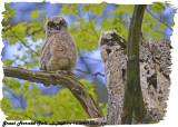 20130509 214 SERIES - Great Horned Owl.jpg