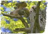 20130509 498 SERIES - Great Horned owls.jpg