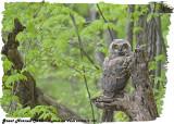 20130513 992 Great Horned Owlet .jpg