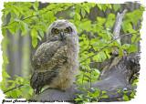 20130513 1148 Great Horned Owlet.jpg