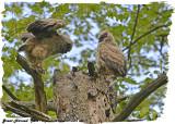 20130509 626 SERIES - Great Horned Owls.jpg