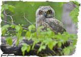 20130513 1054 Great Horned Owlet.jpg