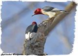 20130504-1 341 Red-headed Woodpeckers.jpg